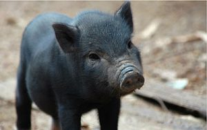 Pig-supermono